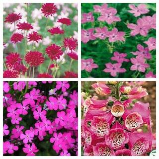 来春~夏苗ピンク系幼苗4種6苗程度(1年草)イングリッシュガーデンLD162(その他)