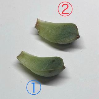 多肉植物 【t.and.y様  専用】(その他)