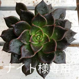 多肉植物 ブラックプリンス(その他)