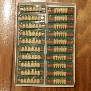 歯の模型 人工歯 セット(模型製作用品)