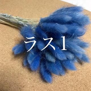 ラグラス ブルー *半束【残2】(ドライフラワー)