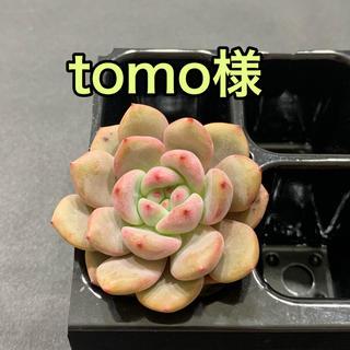 tomo様専用  多肉植物(その他)