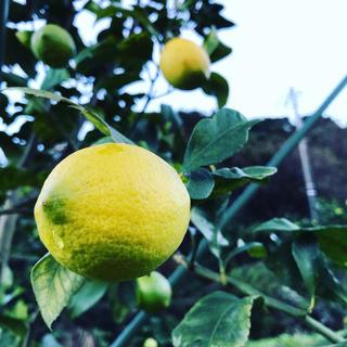 【熱海産♨農薬不使用】日本レモン発祥の地「熱海レモン」A(Ace)チーム約1kg(フルーツ)