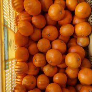本日で完売  蒲郡みかん 5kg 送料無料 早生みかん  サイズ混合 (フルーツ)