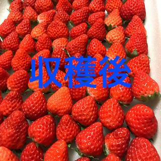 冷凍苺さがほのか2kg●苺●イチゴ(フルーツ)
