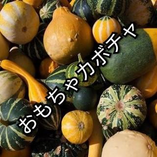 おもちゃかぼちゃ(ミニカボチャ)各色! 種子5粒(その他)