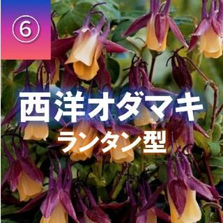 【西洋オダマキ⑥】ランタン型(パープル+オレンジ)種子20粒(その他)