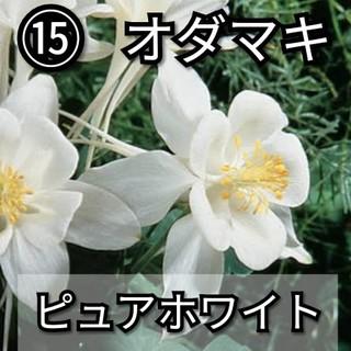 【西洋オダマキ⑮】ピュアホワイト 種子20粒(その他)