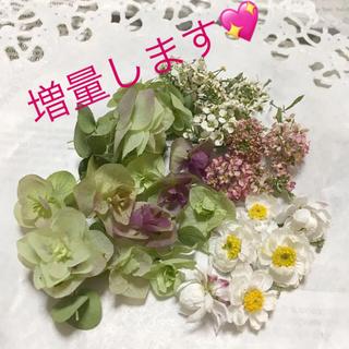 花かんざし、オレガノケントビューティ、アリッサムのドライ(ドライフラワー)