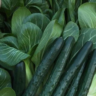 チンゲン&キュウリセット(野菜)