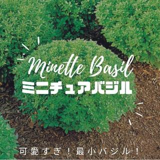 最小バジル【ミニチュアバジル】ハーブ 種子10粒(その他)