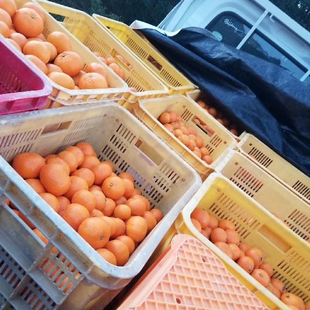 みかん10キロ ブランド 食品/飲料/酒の食品(フルーツ)の商品写真