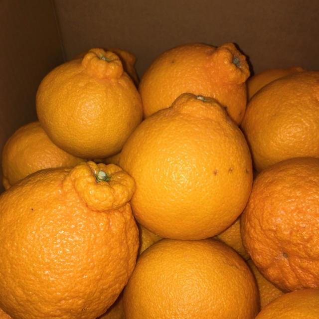 和歌山県産不知火10kg 食品/飲料/酒の食品(フルーツ)の商品写真