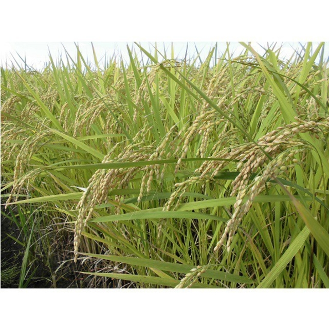 H30年・一等米減農薬あきたこまち30kg(玄米) 食品/飲料/酒の食品(米/穀物)の商品写真