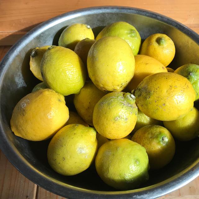 熊本県八代産 無農薬レモン 食品/飲料/酒の食品(フルーツ)の商品写真