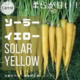 ニンジン④【ソーラーイエロー】黄ニンジン 種子30粒(その他)