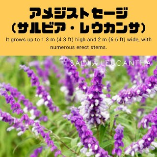 【サルビア・レウカンサ】アメジストセージ 種子10粒(その他)