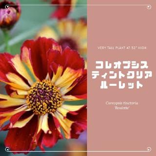 【コレオプシス②】ティンクトリアルーレット 種子12粒前後(その他)