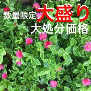 88☆激安❣️ベビーサンローズ☆大盛り処分❣️(プランター)