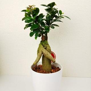 赤い新芽可愛いガジュマル①♪聖木*精霊宿るされている観葉植物4.5号鉢(プランター)
