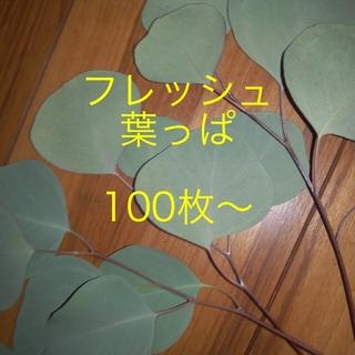 フレッシュ ポポラス ユーカリ 葉っぱ100枚(その他)