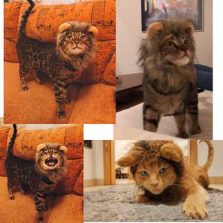 ぼくはライオンにゃあ!ねこさん小型犬さんカツラ