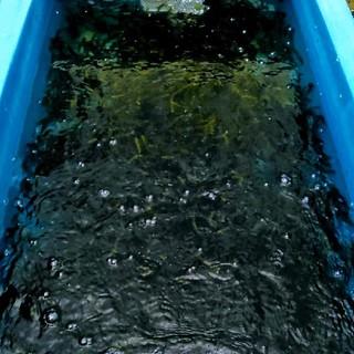 沖縄本島北部産 朝摘み超新鮮な絶品 美ら海の海ぶどう1kg!