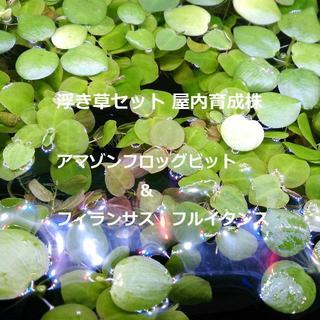 浮き草セット アマゾンフロッグビット&フィランサスフルイタンス(アクアリウム)