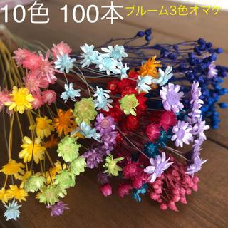 マルセラ❁︎スターフラワー❁︎グリクシア10色100本アソートセット⋈ブルーム3(ドライフラワー)