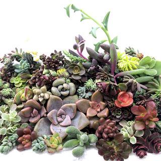 ❤ 多肉植物 セダム カット苗 多種類詰め A 寄せ植えに ♡(その他)