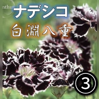 【ナデシコ③】白淵八重 種子20粒前後【ディアンサス】(その他)