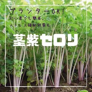 セロリ【茎紫セロリ】種子7粒(その他)
