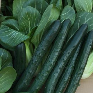 キュウリとチンゲン菜セット(野菜)