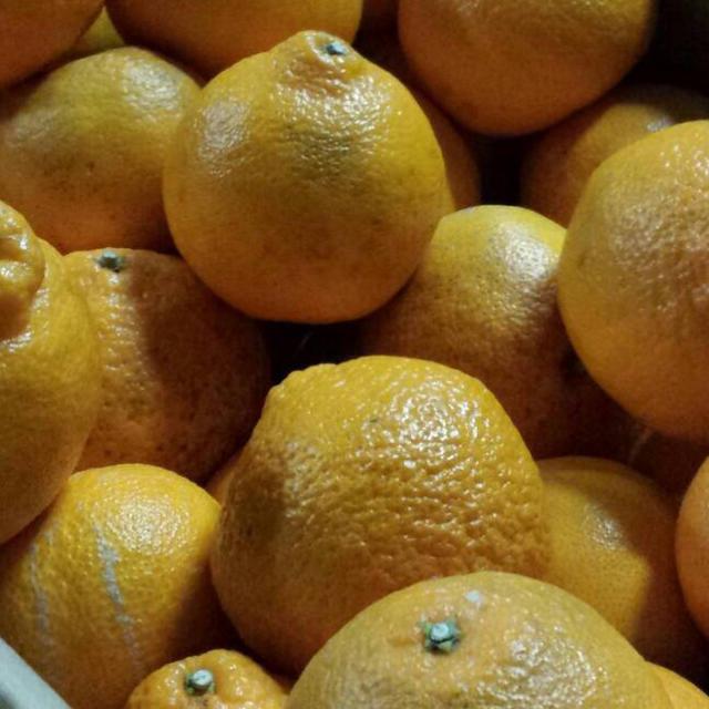 【数量限定】不知火デコ約10kg☆2 食品/飲料/酒の食品(フルーツ)の商品写真