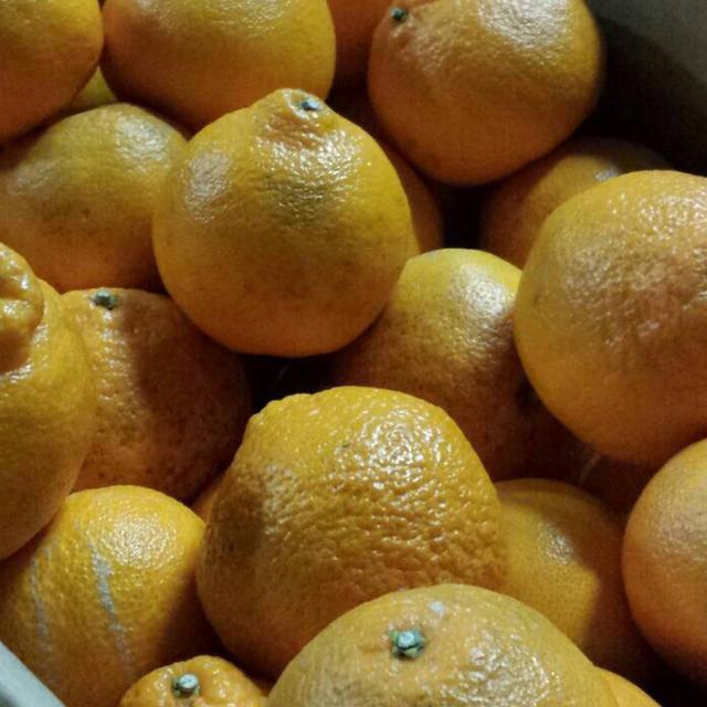 【数量限定】不知火デコ約10kg☆5 食品/飲料/酒の食品(フルーツ)の商品写真