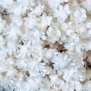 人気のスターフラワー ドライフラワー 花材 お色はホワイト(ドライフラワー)