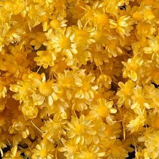人気のスターフラワー ドライフラワー 花材 お色はイエロー(ドライフラワー)