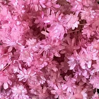 人気のスターフラワー ドライフラワー 花材 お色はブライダルピンク(ドライフラワー)
