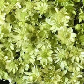 人気のスターフラワー ドライフラワー 花材 お色はアップルグリーン(ドライフラワー)