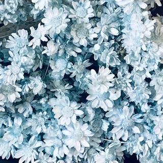人気のスターフラワー ドライフラワー 花材 お色はベビーブルー(ドライフラワー)