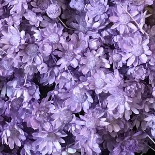 人気のスターフラワー ドライフラワー 花材 お色はライトパープル(ドライフラワー)
