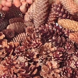 北海道産 木の実いろいろ アソート大量80個 ドウイトウヒもレッドオークも #1(ドライフラワー)