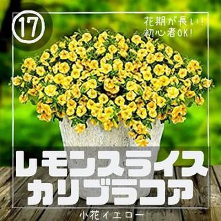 ペチュニア⑰【カリブラコア】レモンスライス 種子30粒(その他)