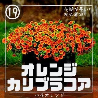 ペチュニア⑲【カリブラコア】オレンジ 種子30粒(その他)