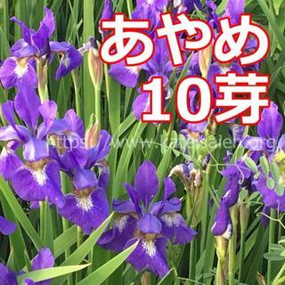 あやめ 苗 10芽 草花 山野草 紫色 多年草 ☆植え替え時♪(その他)