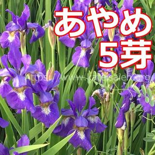 あやめ 苗 5芽 草花 山野草 紫色 多年草 ☆植え替え時♪(その他)