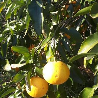 国産無農薬 グレープフルーツ 5kg 送料無料 サイズ混合 訳あり(フルーツ)