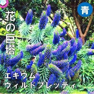 【エキウム・ウィルドプレティ】宝石の塔 青 種子20粒(その他)