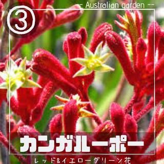 【カンガルーポー③】レッド&イエローグリーン花 種子10粒 アニゴザントス(その他)