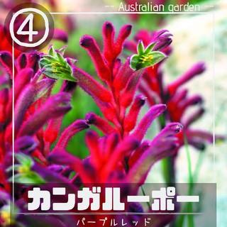 【カンガルーポー④】パープルレッド 種子10粒 アニゴザントス(その他)